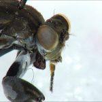 Focus Stacking Mantis Fly